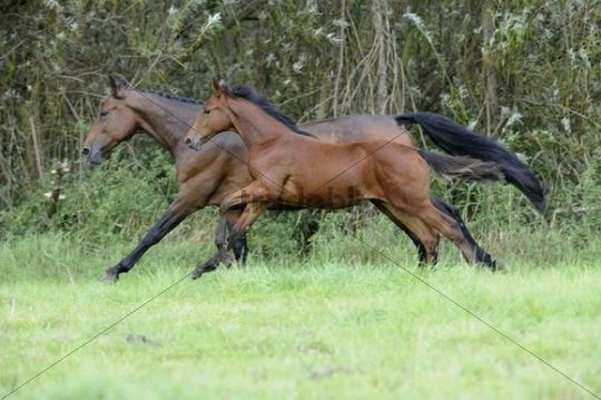 Warmblood mare with foal at a gallop