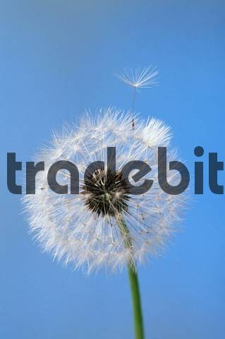 Dandelion seedhead Taraxacum officinale