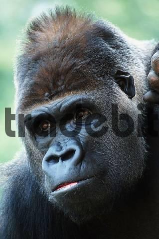 Western Gorilla, silverback Gorilla gorilla gorilla