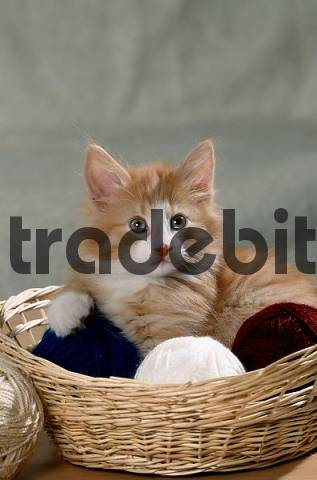 Norwegian Forest Cat, kitten, in basket with balls of wool