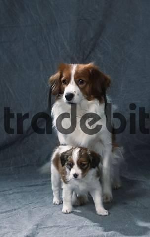 Kooikerhondjes, bitch with puppy Small Dutch Waterfowl Dog