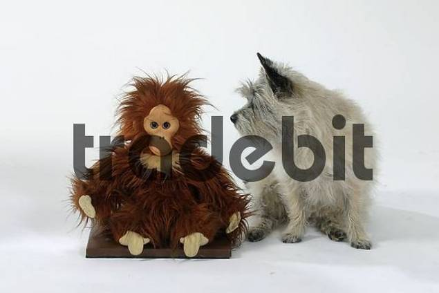 Cairn Terrier and toy monkey