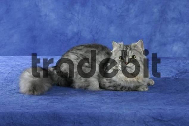Persian Cat, silver-tabby side