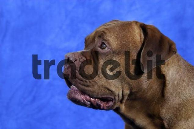 Dogue de Bordeaux side, profile