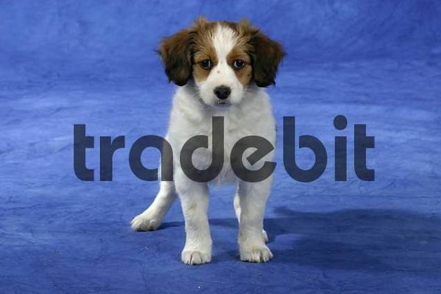 Small Dutch Waterfowl Dog, puppy, 9 weeks Kooikerhondje
