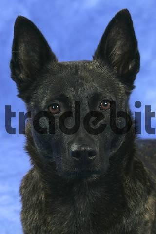 Dutch Shepherd Dog Hollandse Herder