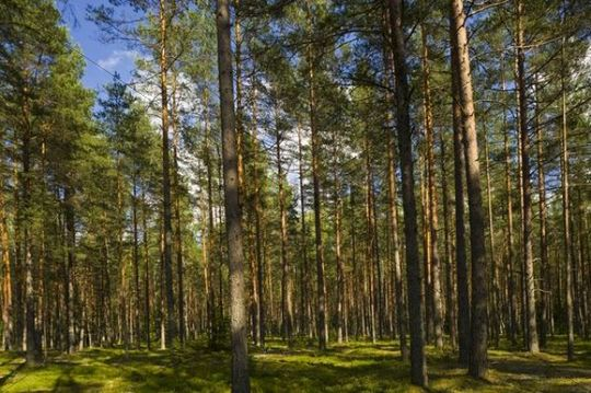 Coniferous Forest Gauja National Park Riga Latvia