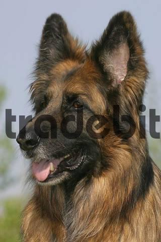 German Shepherd Dog, longhaired