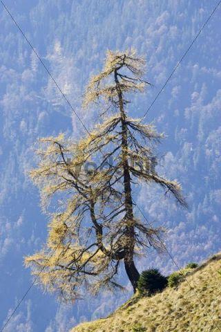 Pine, coniferous tree on wayside to Trainsjoch, Alps, Bavaria, Germany, Europe
