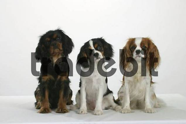 Cavalier King Charles Spaniel, black-and-tan, tricolor and Blenheim