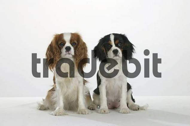 Cavalier King Charles Spaniel with puppy, 4 month, Blenheim and tricolor