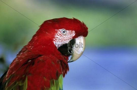 Green-winged Macaw or Red-and-green Macaw Ara chloroptera, portrait