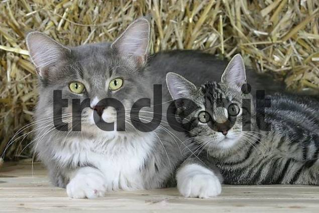Maine Coon Cat and Domestic Cat, 5 month