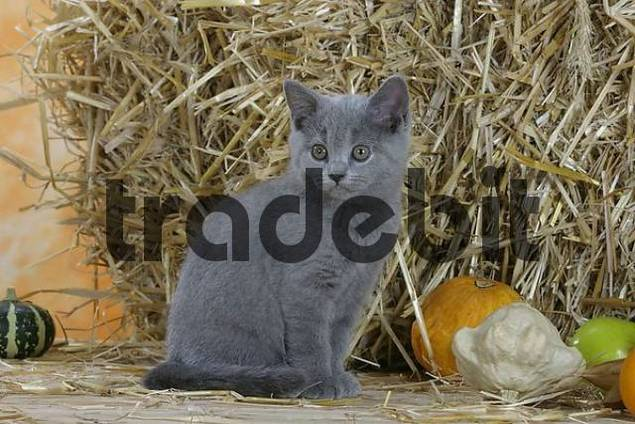 British Shorthair Cat, kitten, blue