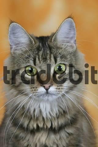 Norwegian Forest Cat, ...