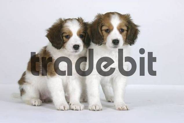 Small Dutch Waterfowl Dogs, puppies Kooikerhondje
