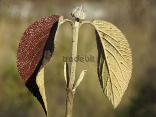 Leaf of a Wayfaring Tree Viburnum lantana, Bavaria, Germany, Europe