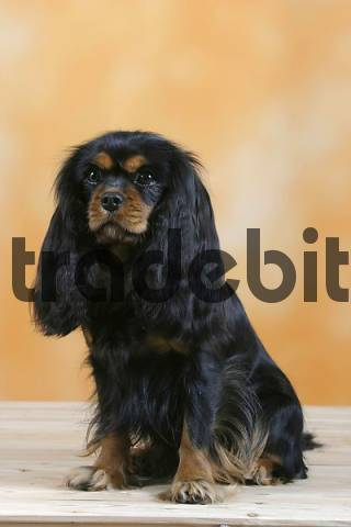 Cavalier King Charles Spaniel, black and tan