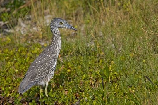 Yellow-crowned Night Heron Nycticorax violaceus, young animal, Florida