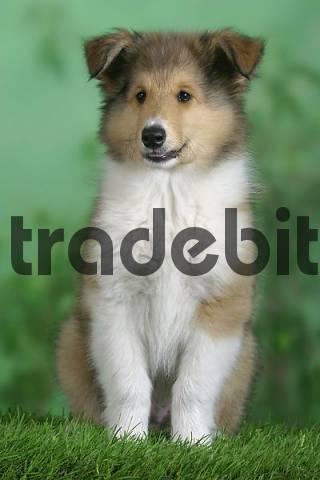 Rough Collie, puppy, 10 weeks