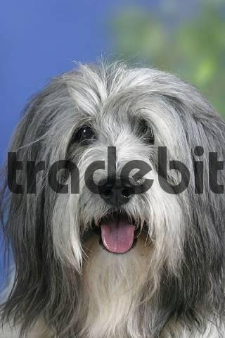 stock photo polish lowland sheepdog and border collie puppy pon polski owczarek .