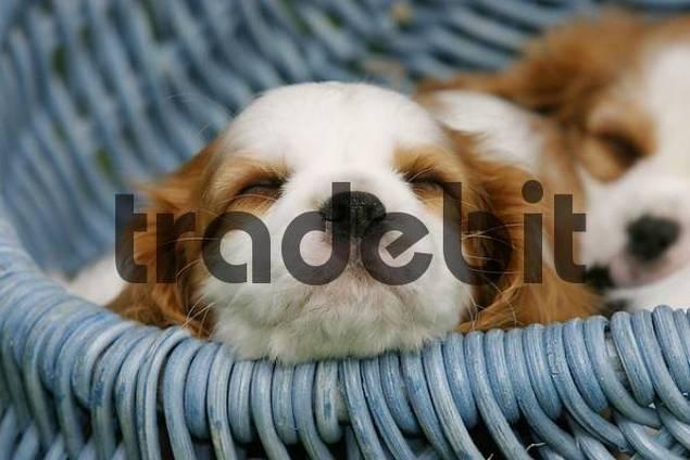 Cavalier King Charles Spaniel puppies, 8 weeks, in basket