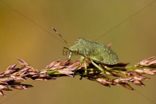 Green Shield Bug Palomena prasina