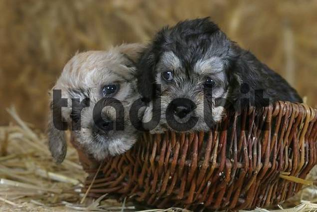 Dandie Dinmont Terrier, puppies, 6 weeks, in basket