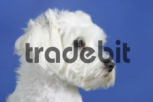 Maltese profile, side