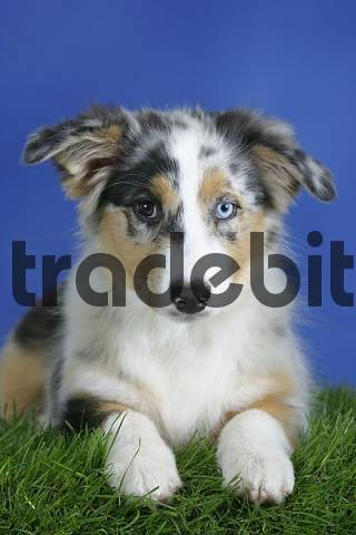 Australian Shepherd, blue-merle, odd-eyed, puppy, 3 month