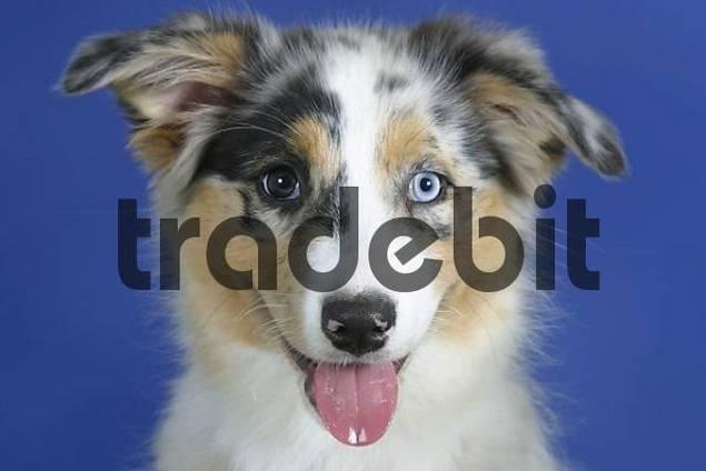 Australian Shepherd  blue-merle  odd-eyed  puppy  3 monthBlue Merle Australian Shepherd Puppy