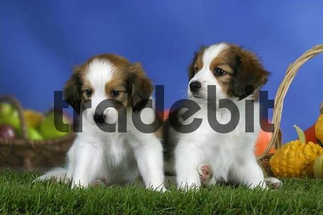 Small Dutch Waterfowl Dog, puppies, 7 weeks Kooikerhondje