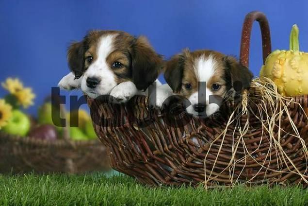 Small Dutch Waterfowl Dogs, puppies, 7 weeks, in basket Kooikerhondje