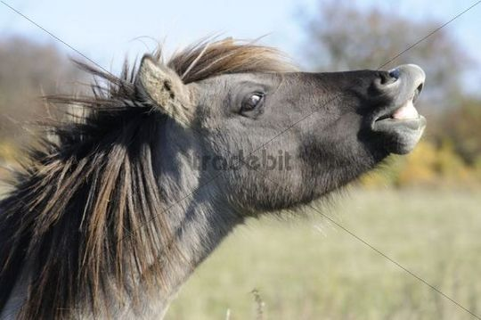Konik or Polish primitive horse, flehmen response