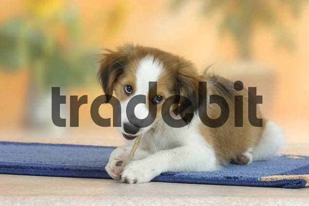Small Dutch Waterfowl Dog, puppy, 3 month, with chewing toy Kooikerhondje