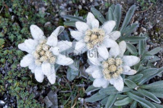 Edelweiss Leontopodium alpinum, North Tirol, Austria, Europe