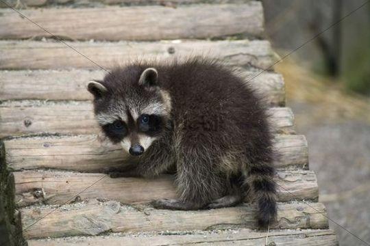 Young raccoon Procyon lotor
