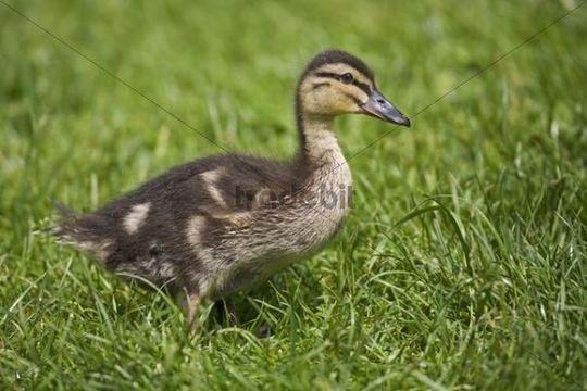 Mallard chick Anas platyrhynchos