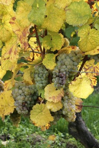 Riesling grapes ready for harvest