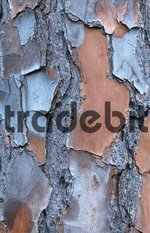 Slash Pine bark, Everglades national park, Florida, USA Pinus eliotti