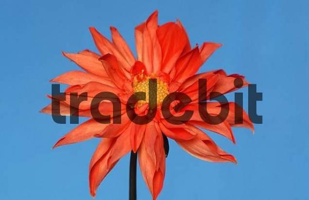 Dahlia Dahlia x cultorum, Dahlia variabilis