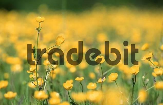 Meadow Buttercup, North Rhine-Westphalia, Germany Ranunculus acris