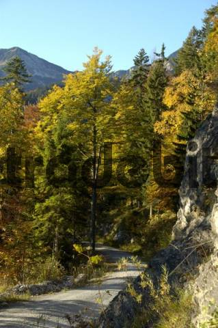 Forest road with mountain forest in colourful leaves of autumn Krottenkopf Bavarian Alps Upper Bavaria Germany
