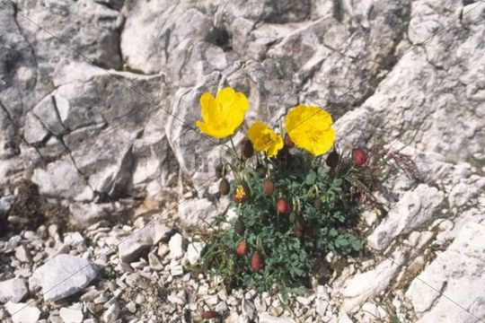 Alpine Poppy Papaver alpinum, Sexten Dolomites, Province of Bolzano-Bozen, Italy, Europe