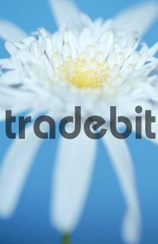 Daisy Chrysanthemum maximum