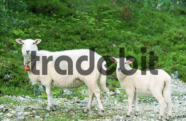 Domestic Sheep with lamb, Lofotes, Norway