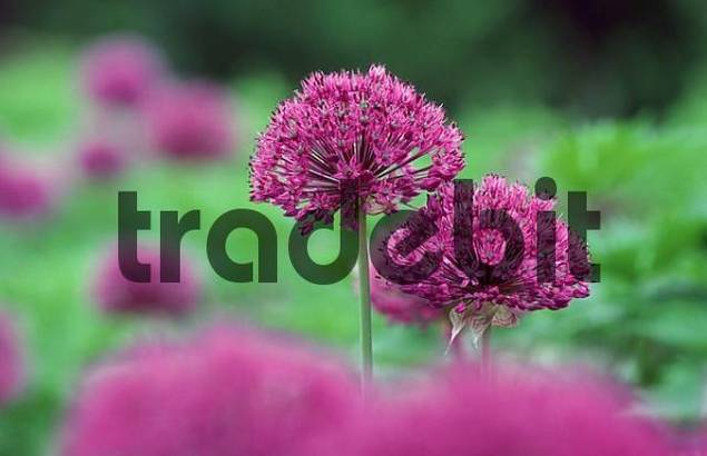 Ornamental Onion Allium aflatunense