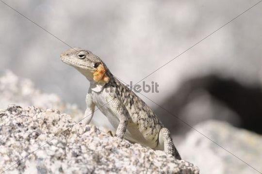 Гималайская агама (Agama himalayana, Laudakia himalayana), Фото фотография картинка рептилии ящерицы