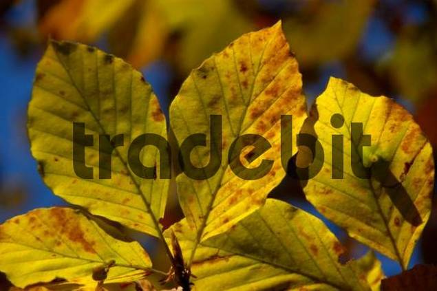 Leaves of beech Fagus sylvatica at a branch in autumn Bavarian Alps Upper Bavaria Germany