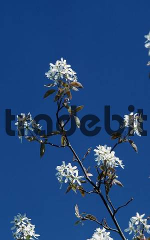 Blooming Allegheny Serviceberry Amelanchier laevis